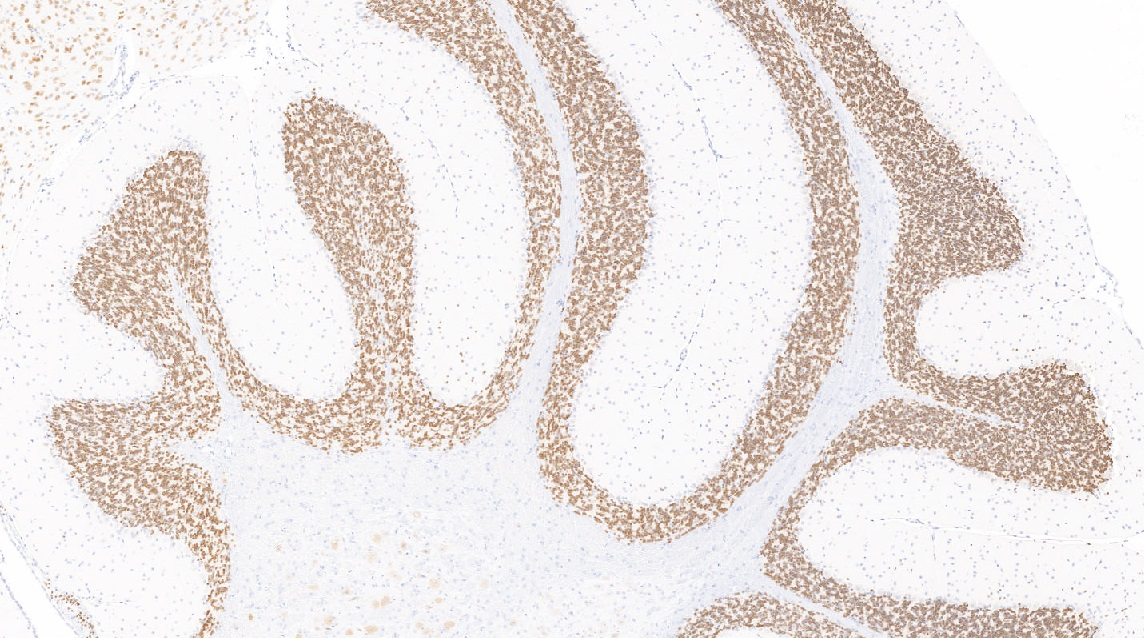 Immunostain for NeuN, Mouse brain