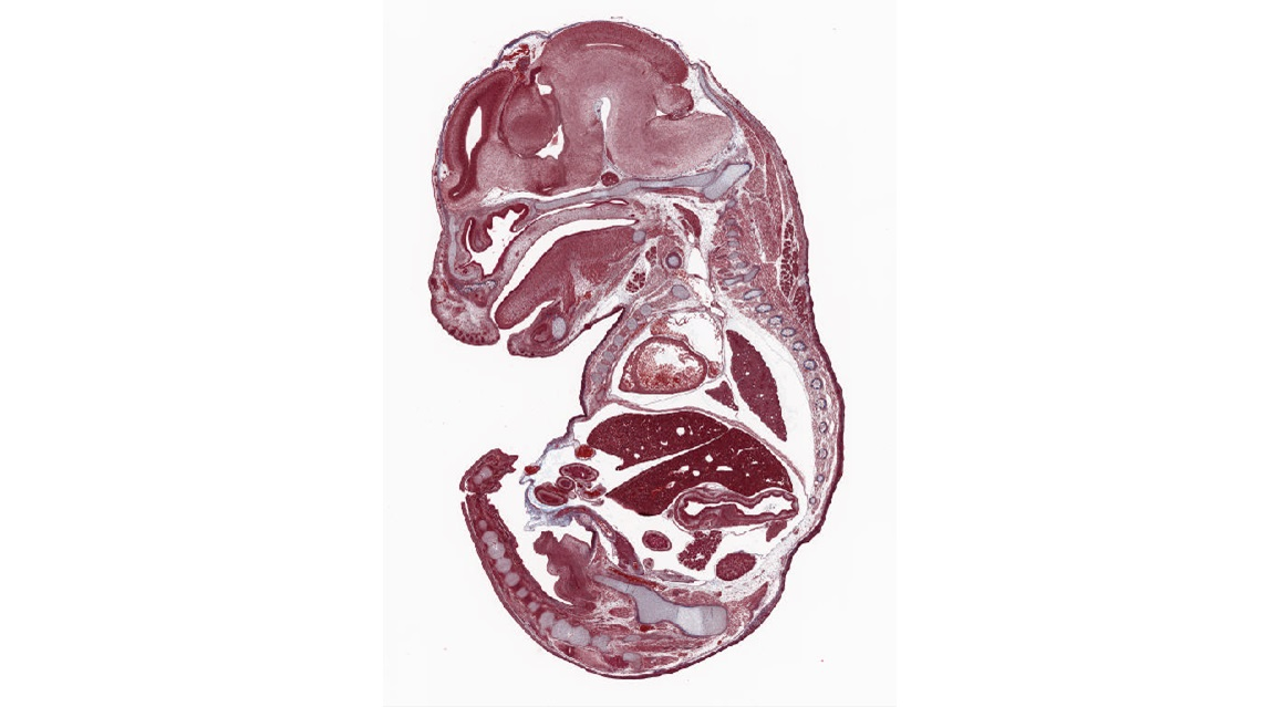 Trichrome, Mouse embryo